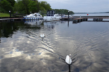 Shannon Boat Hire Gallery - More hungry swans