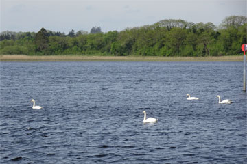 Shannon Boat Hire Gallery - Swan Lake?