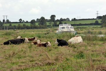Shannon Boat Hire Gallery - Lazing around... and so are the cows.