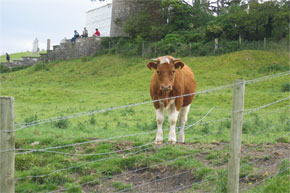 "Shannon Boat Hire Gallery - ""...it's incredibly funny, the cow/bull (can't remember) wouldn't stop looking at us and it's just an example of the splendid nature that surrounds the river Shannon."""