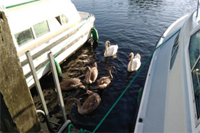 Swans waiting for their breakfast